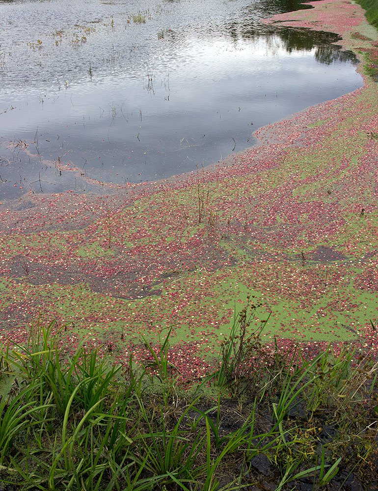 Flooded Cranberry Field